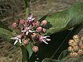 H20140515-2375—Asclepias speciosa w honey bee—RPBG (14019986117).jpg