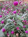 HK 灣仔 Wan Chai 囍匯 The Avenue Rooftop Garden terrace plants Oct 2017 IX1 purple flower ball green sword leaves 04.jpg