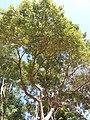 HK CWB 銅鑼灣 Causeway Bay 維多利亞公園 Victoria Park tree trunk n green leaves December 2019 SSG 19.jpg
