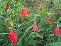 HK Central ZAB Garden Plant 大紅花 red flowers.JPG