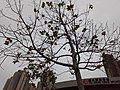 HK TKL 調景嶺 Tiu Keng Leng 翠嶺道 Chui Ling Road 楓樹 flora tree crown winter December 2019 SS2.jpg