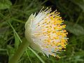 Haemanthus albiflos (fleur).jpg