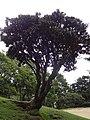 Hakgale botanical garden Rhododendron arboreum subsp. zeylanicum 2017-10-23 (31).jpg