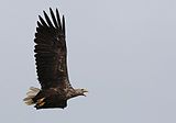 Haliaeetus albicilla -Littleisland, Norway -adult-8a.jpg