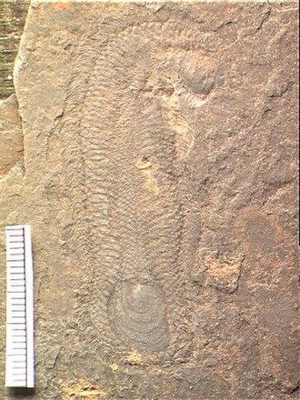 Halkieriid - Halkieria evangelista from the Lower Cambrian Sirius Passet, North Greenland