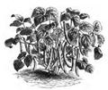 Haricot flageolet à feuilles gaufrées Vilmorin-Andrieux 1883.png