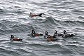 Harlequin Ducks -94 100- (24056490317).jpg