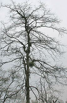 Harra (Terminalia chebula) leafless tree at 23 Mile, Duars, WB W IMG 5905.jpg
