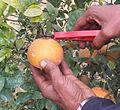 Harvesting Kinnow.JPG