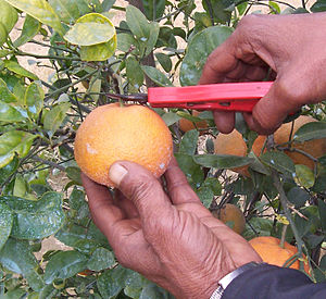 Kinnow - Picking of Kinnow with clippers
