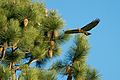 Hawk Flying by Pine Tree.jpg