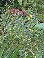 Heimia salicifolia (15413976895).jpg