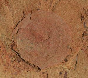 Chengjiang County - Image: Heliomedusa orienta