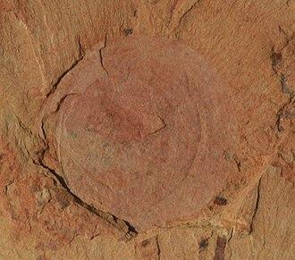 Maotianshan Shales - Image: Heliomedusa orienta