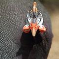 Helmeted Guineafowl (4687255693).jpg