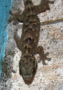 Hemidactylus mabouia — Wikipédia
