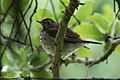 Hermit Thrush Fall Out Sabine Woods TX 2018-04-08 11-04-35 (27613494428).jpg