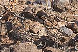 Heuglin's courser (Rhinoptilus cinctus) pair.jpg
