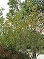 Hibiscus hamabo1.jpg