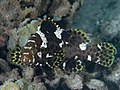 Highfin grouper (Epinephelus maculatus) (48279161391).jpg
