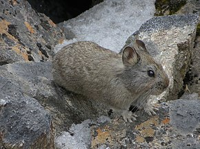 Description de l'image Himalayan Pika.JPG.