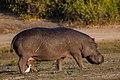Hipopótamo (Hippopotamus amphibius), parque nacional de Chobe, Botsuana, 2018-07-28, DD 80.jpg