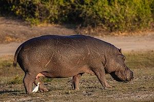 Flusspferd (Hippopotamus amphibius)