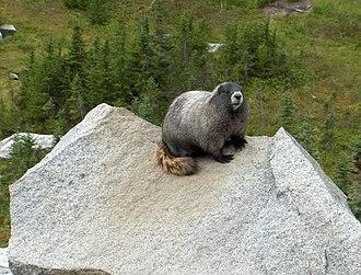 Hoary marmot - Hoary marmot in Mount Rainier National Park