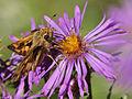 Hobomok Skipper Butterfly Supping Nectar in Woodbine Park (Sept 27, 2012).jpg