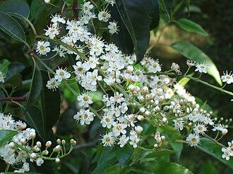 Prunus lusitanica - Flowers