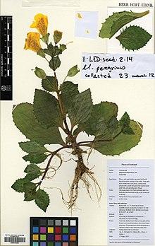 Scan of a herbarium specimen