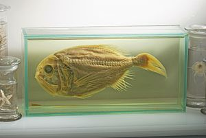 Science museum - Museum specimen of an endangered fish, the Orange Roughy.