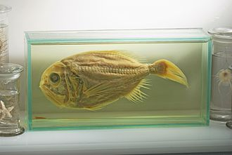 Science museum - Museum specimen of an endangered fish, the Orange Roughy
