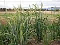 Hordeum vulgare (hooded 2-row barley) (21687301618).jpg