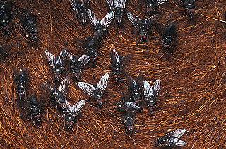 <i>Haematobia</i> genus of insects