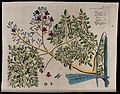 Horse-radish tree (Moringa oleifera Lam.); branch with flowe Wellcome V0042647.jpg