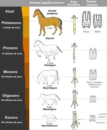 A evolução do cavalo.