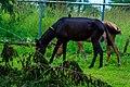 Horses feeds on grass.jpg