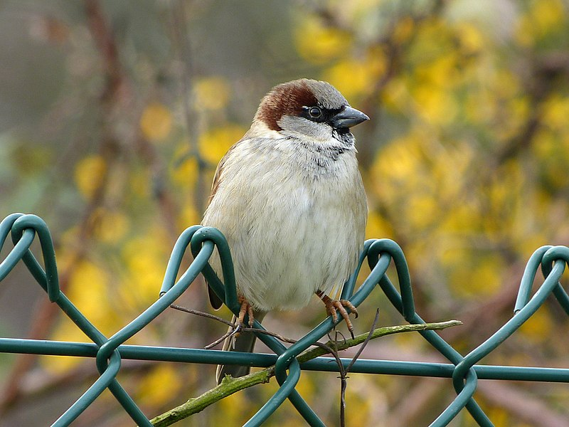 File:House Sparrow (6818475877).jpg