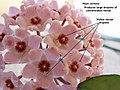Hoya carnosa nectar IMG 1395c.jpg