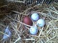 Huevos marans 1.jpg