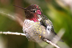 Iridescent plumage in a male Anna's Hummingbird.