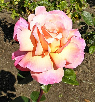 Rosa Peace - Image: Hybrid Tea Lucky Piece 17 (crop)