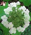 Hydrangea quercifolia-flowers-closeup.jpg