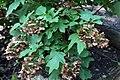Hydrangea quercifolia Select Seedling 2zz.jpg