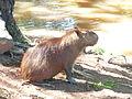 Hydrochoerus hydrochaeris, Capybara o Carpincho. En Corrientes, Argentina 5.JPG