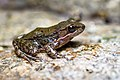 Hylarana nigrovittata, Dark-sided frog (male, breeding color) - Huai Yang Waterfall National Park (29330342203).jpg