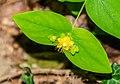 Hypericum androsaemum in Aveyron (2).jpg