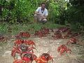 Ian Usher Christmas Island Crabs.JPG