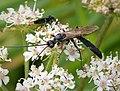 Ichneumonidae (38907901724).jpg
